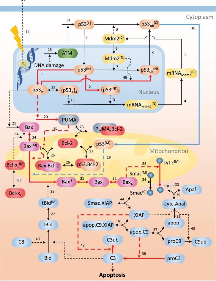 significance of p53 dynamics - bahar